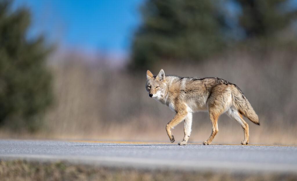 coyote-in-canada-EWBZMQL