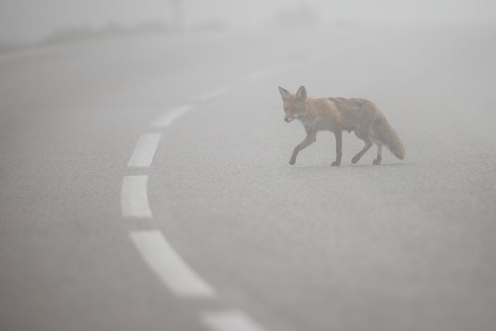Red fox, vulpes vulpes, crossing asphalt road with middle line in mist. Concept of danger on a motorway caused by wild animal. Wildlife in urban scenery.
