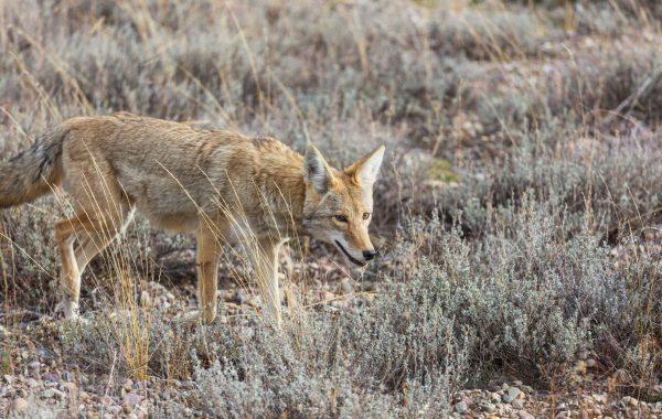 coyote closeup in autumn meadow