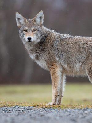 coyote-in-canada-HEECFFJ