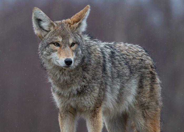 coyote-in-canada-HQ4LYJ3