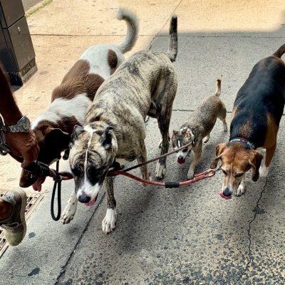 dog-walker-taking-dogs-for-a-walk-U3NWE5Q-min