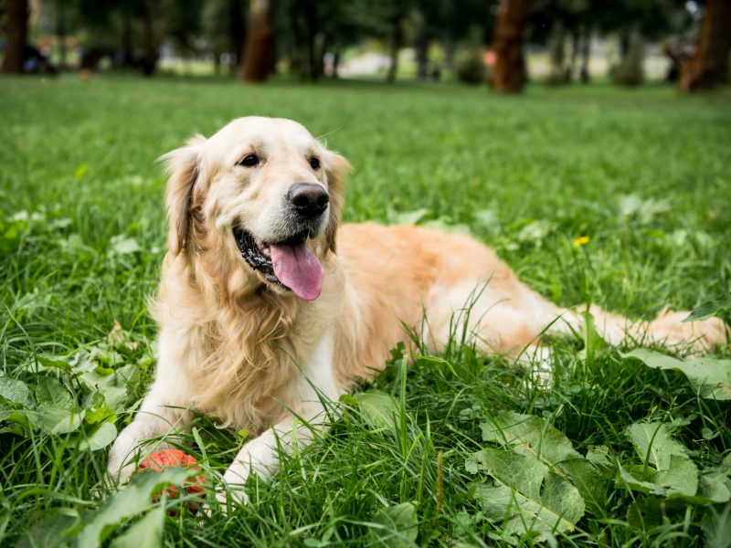 funny golden retriever dog resting on green lawn